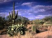 Cactus dans le désert 2 Fonds d'écran