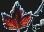 Feuille d'arbre glacée Fonds d'écran