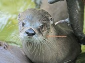 Basel Zoo Loutre (44606) Photos