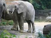 Basel Zoo Éléphant d'Afrique (35368) Photos