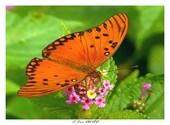 Papillon de Guyane Photos
