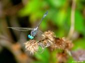 Demoiselle aux yeux bleus Photos