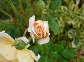 Rose Fonds d'écran
