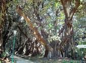 Ficus géants - jardin d'essai, alger Fonds d'écran