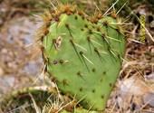 Coeur cactus Fonds d'écran