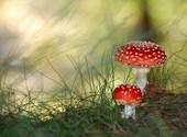 Des champignons Fonds d'écran