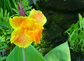 Canna aquatique Photos