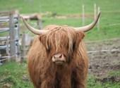 Vache écossaise Photos