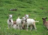 Chèvres curieuses Photos