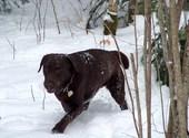 Labrador dans la neige Photos
